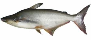 Hasil gambar untuk ikan dori dan patin